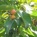 西洋実桜(セイヨウミザクラ)