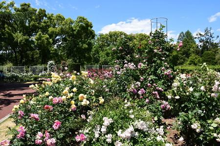 五月晴れの薔薇園