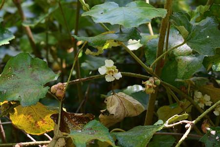 焙烙苺(ホウロクイチゴ)