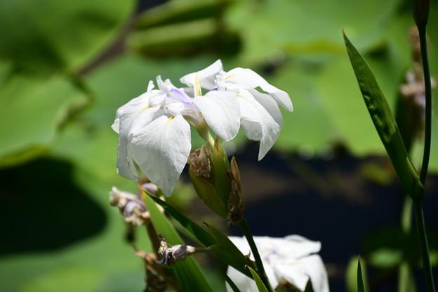 紫陽花園の杜若(カキツバタ)