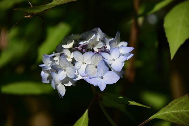 舞子紫陽花(マイコアジサイ)