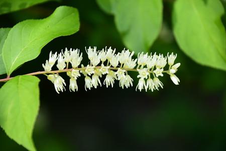 小葉の髄菜(コバノズイナ)