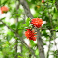Photos: 石榴(ザクロ)
