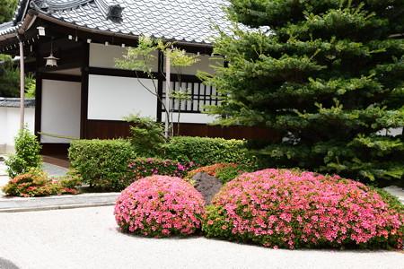 大光明寺の皐月(サツキ)