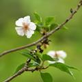 6月の十月桜(ジュウガツザクラ)