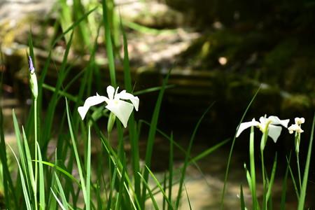 平安の苑の花菖蒲