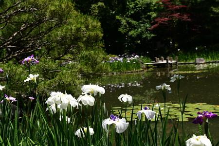 平安神宮の花菖蒲