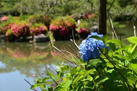栖凰池の紫陽花