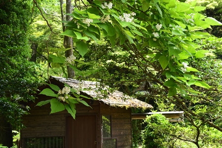 水車小屋前のアメリカ木大角豆(アメリカキササゲ)