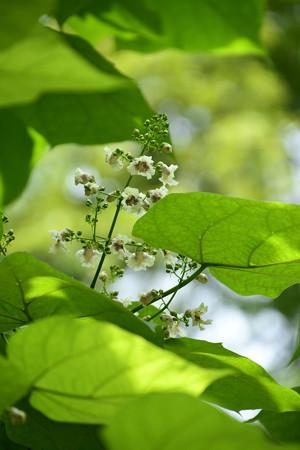 花木大角豆(ハナギササゲ)