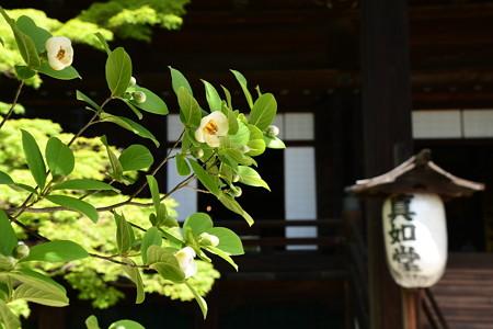 夏椿咲く真如堂