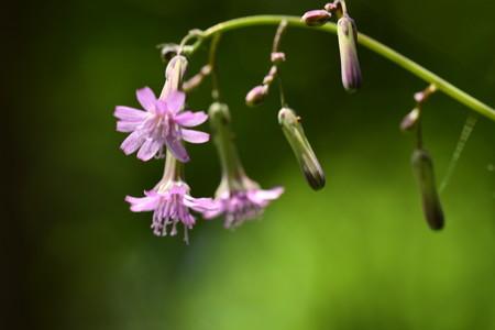 紫苦菜(ムラサキニガナ)