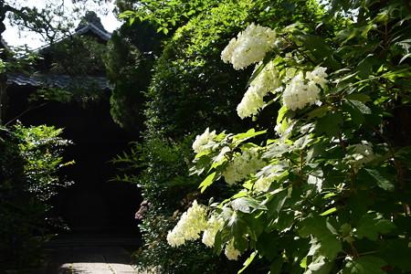 東洋院の柏葉紫陽花(カシワバアジサイ)