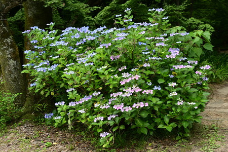 生態園入口の紫陽花