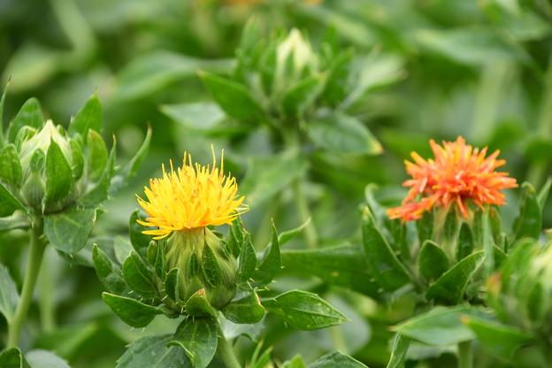 紅花(ベニバナ)