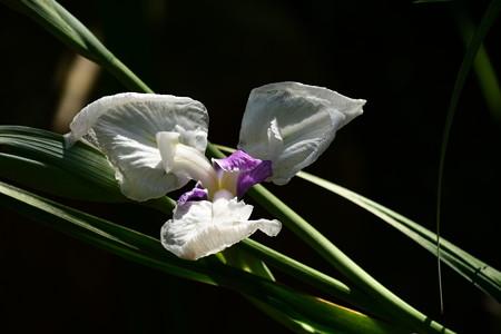 渉渓園の花菖蒲
