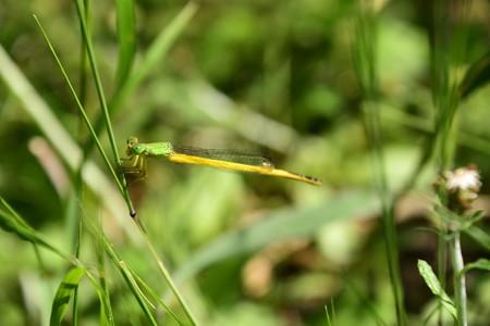 黄糸蜻蛉(キイトトンボ)