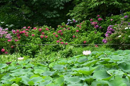 蓮咲く紫陽花園