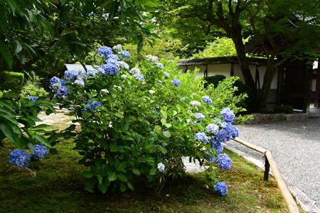 最勝院の紫陽花