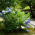 Photos: 最勝院の紫陽花