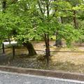 Photos: 夏椿(ナツツバキ)