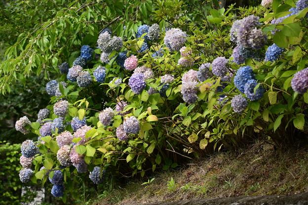カラフルな紫陽花