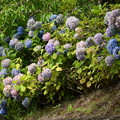 Photos: カラフルな紫陽花