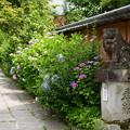 Photos: 参道の紫陽花