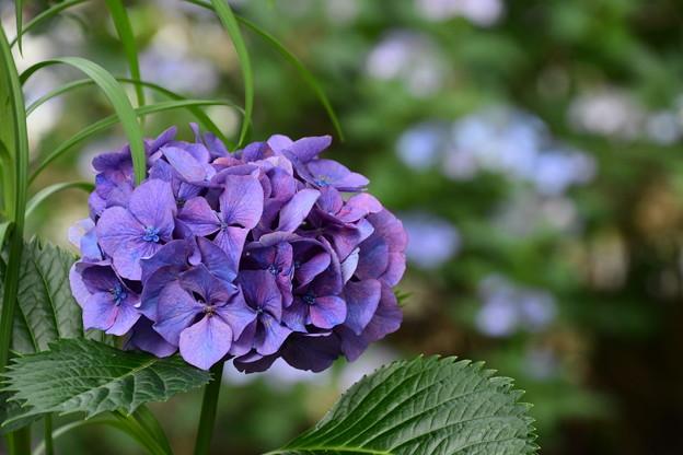 哲学の道の紫陽花