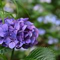Photos: 哲学の道の紫陽花