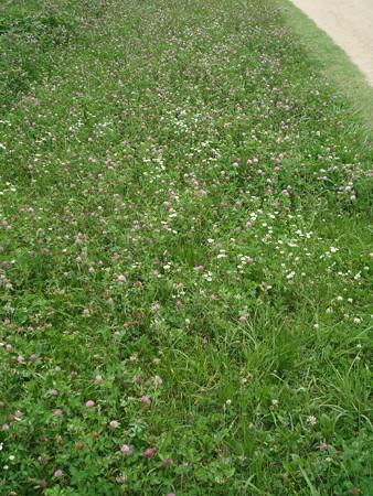 赤詰草と姫女菀の賀茂川