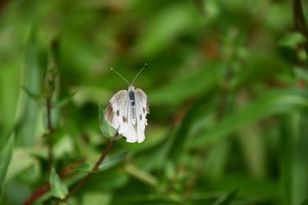 紋白蝶(モンシロチョウ)