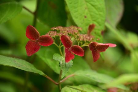 紅山紫陽花(クレナイヤマアジサイ)