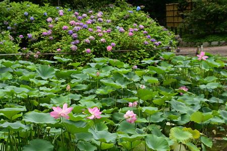 紫陽花園の大賀蓮(オオガハス)