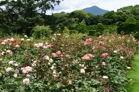 薔薇と比叡山