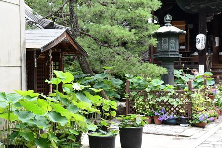 本堂前の蓮と花々