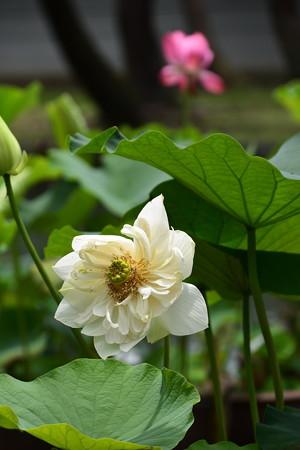 白芍薬蓮(シロシャクヤクレン)