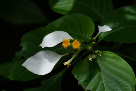 広葉崑崙花(ヒロハコンロンカ)
