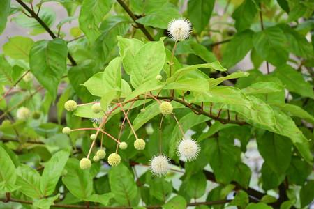 玉笠の木(タマガサノキ)