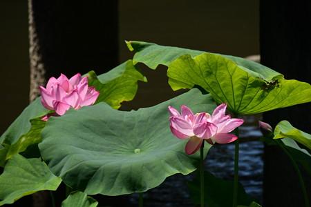放生池の蓮