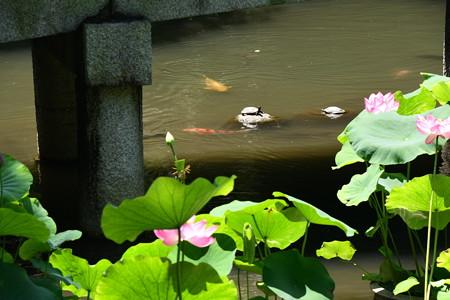 蓮池の鯉と亀
