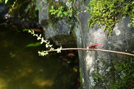 猩々蜻蛉(ショウジョウトンボ)