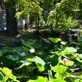 Photos: 放生池の蓮