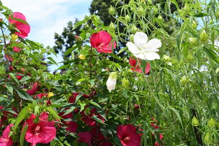 紅蜀葵(右)とタイタンビカス(左)