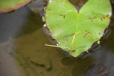 黄糸蜻蛉の産卵