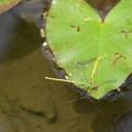 Photos: 黄糸蜻蛉の産卵