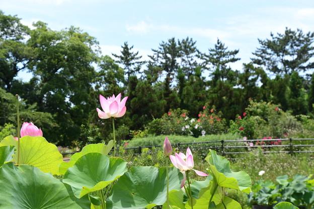 蓮咲く彩りの丘