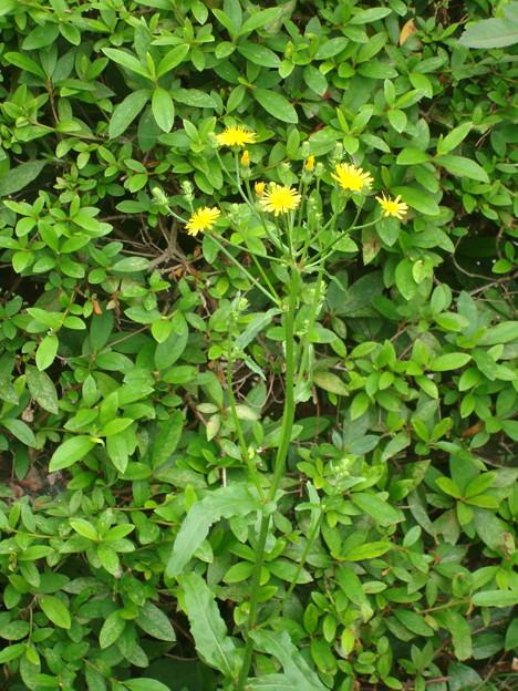 野罌粟(ノゲシ)