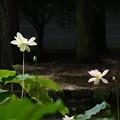 Photos: 黄玉(コウギョク)・左と楚天祥雲(ソテンショウウン)
