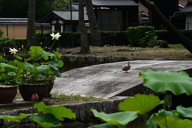 カルガモのお散歩